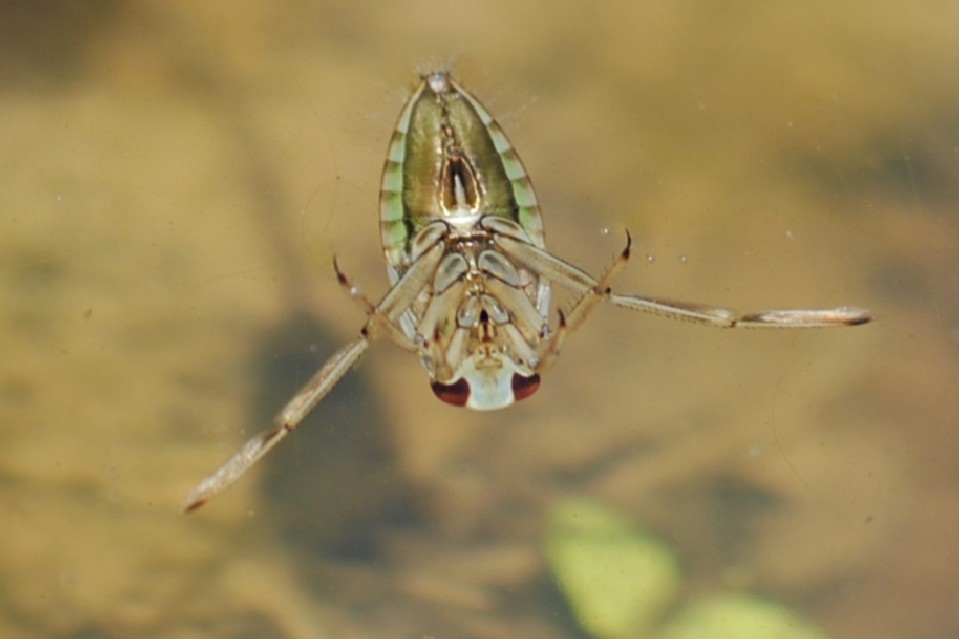 Notonecta sp. - Notonectidae
