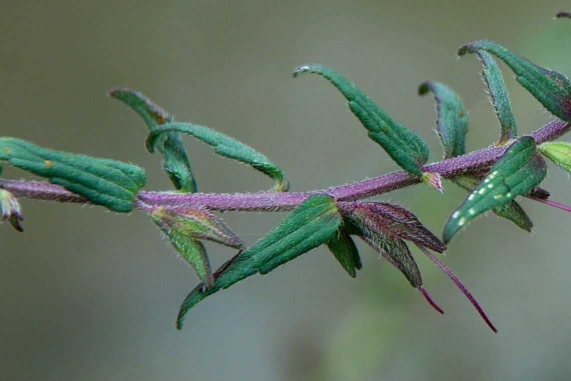 Odontites vulgaris subsp. vulgaris 10