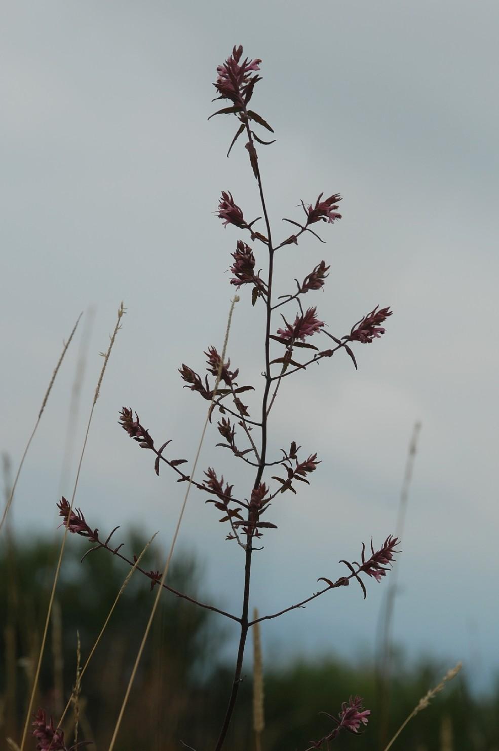 Odontites vulgaris subsp. vulgaris 11