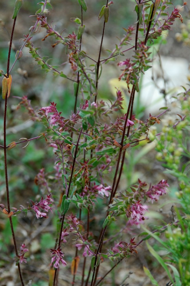 Odontites vulgaris subsp. vulgaris 15