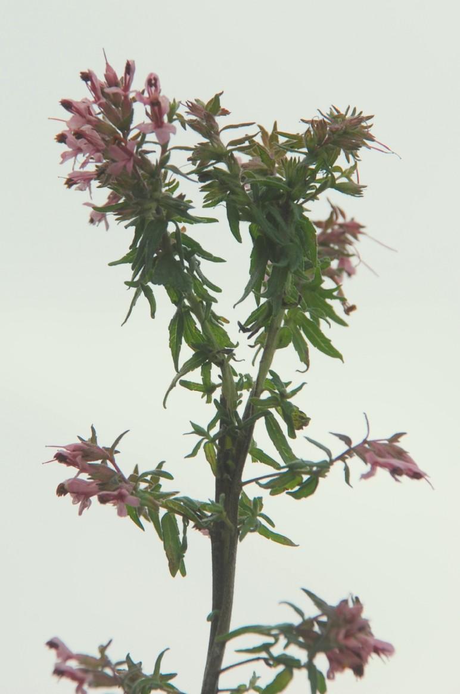 Odontites vulgaris subsp. vulgaris 6