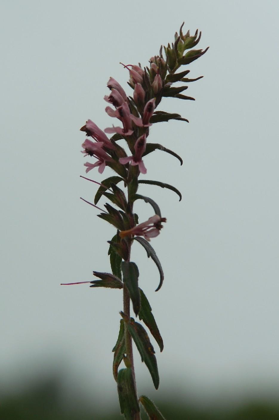 Odontites vulgaris subsp. vulgaris 8