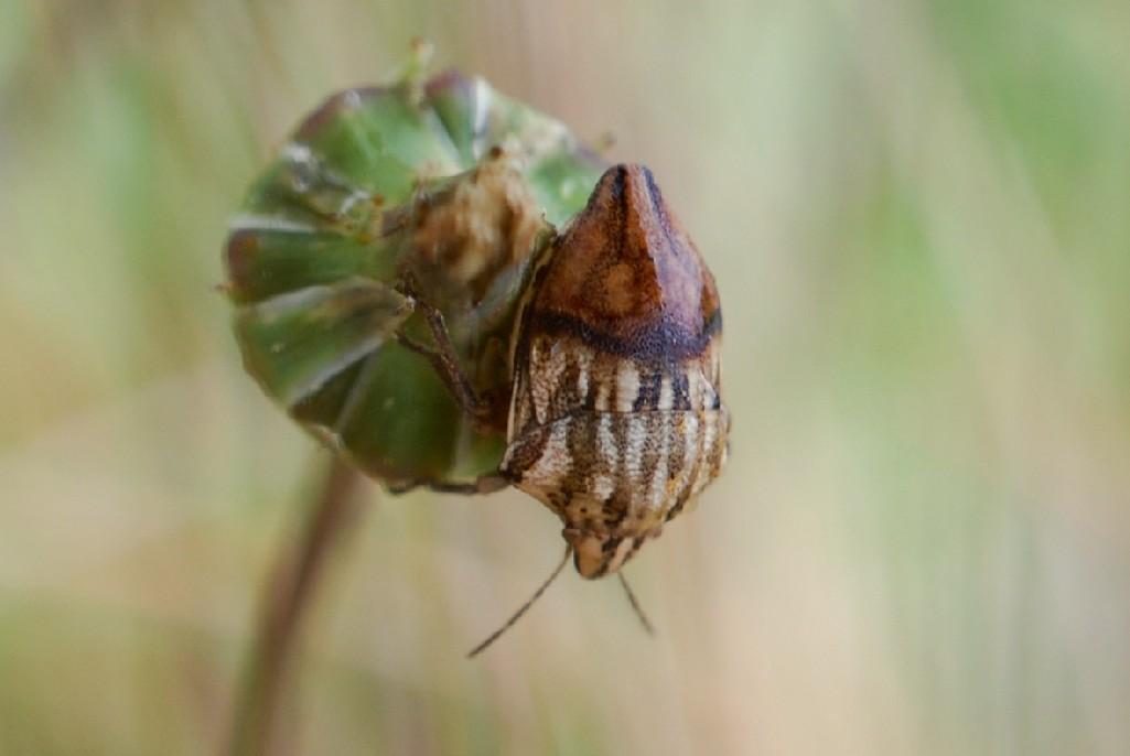 Odontotarsus purpureolineatus - Scutelleridae