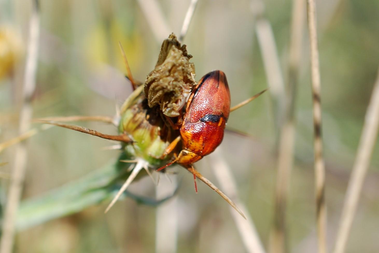 Odontotarsus sp. - Scutelleridae