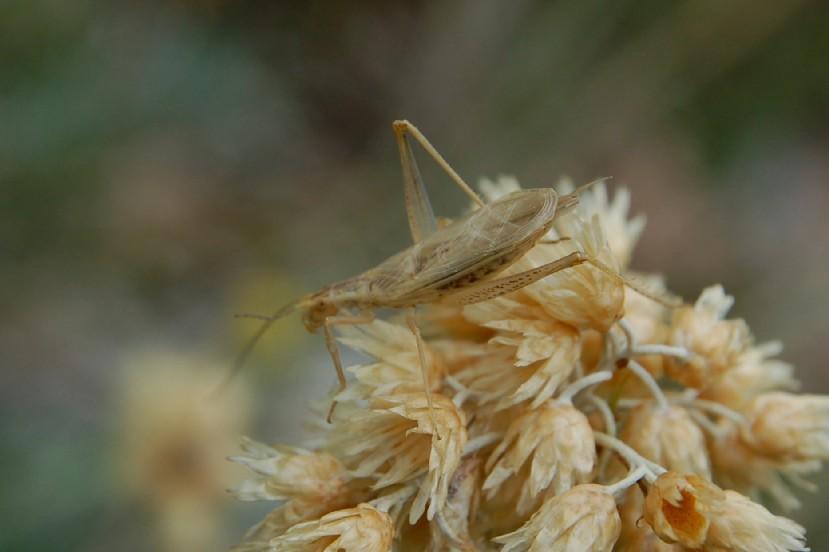 Oecanthus pellucens - Gryllidae