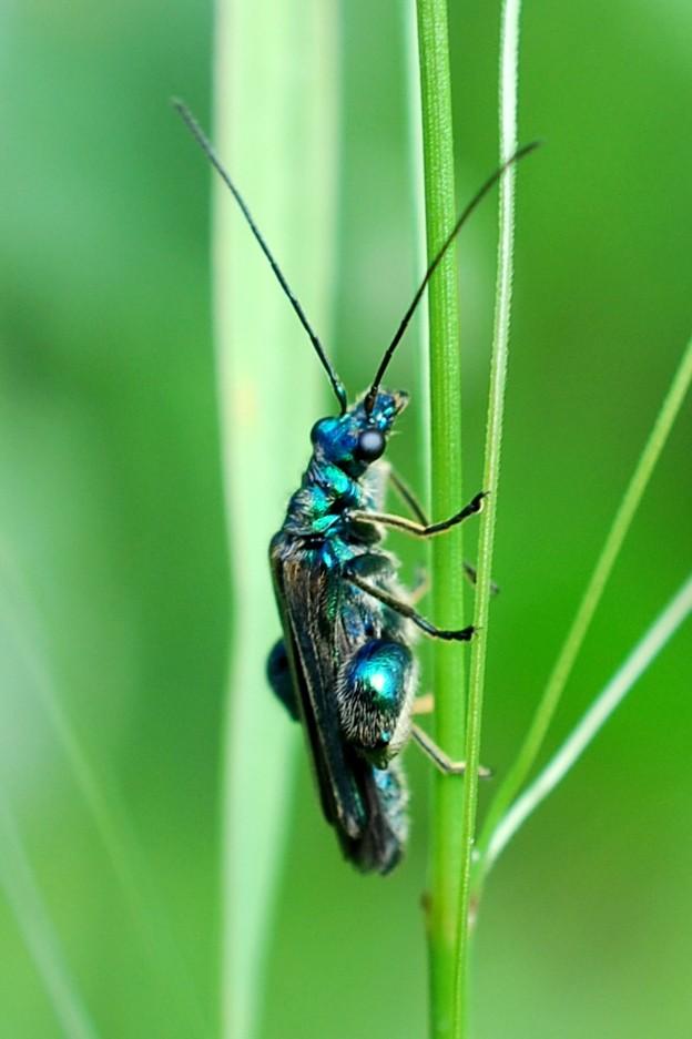 Oedemera sp. - Oedemeridae