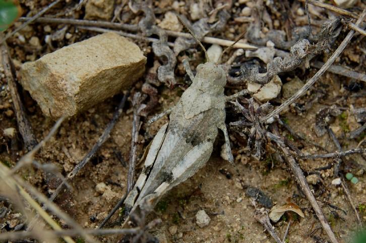 Oedipoda germanica - Acrididae