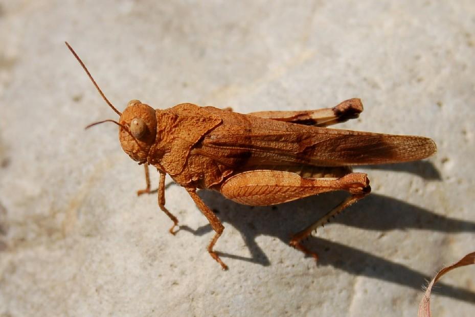 Oedipoda sp. - Acrididae