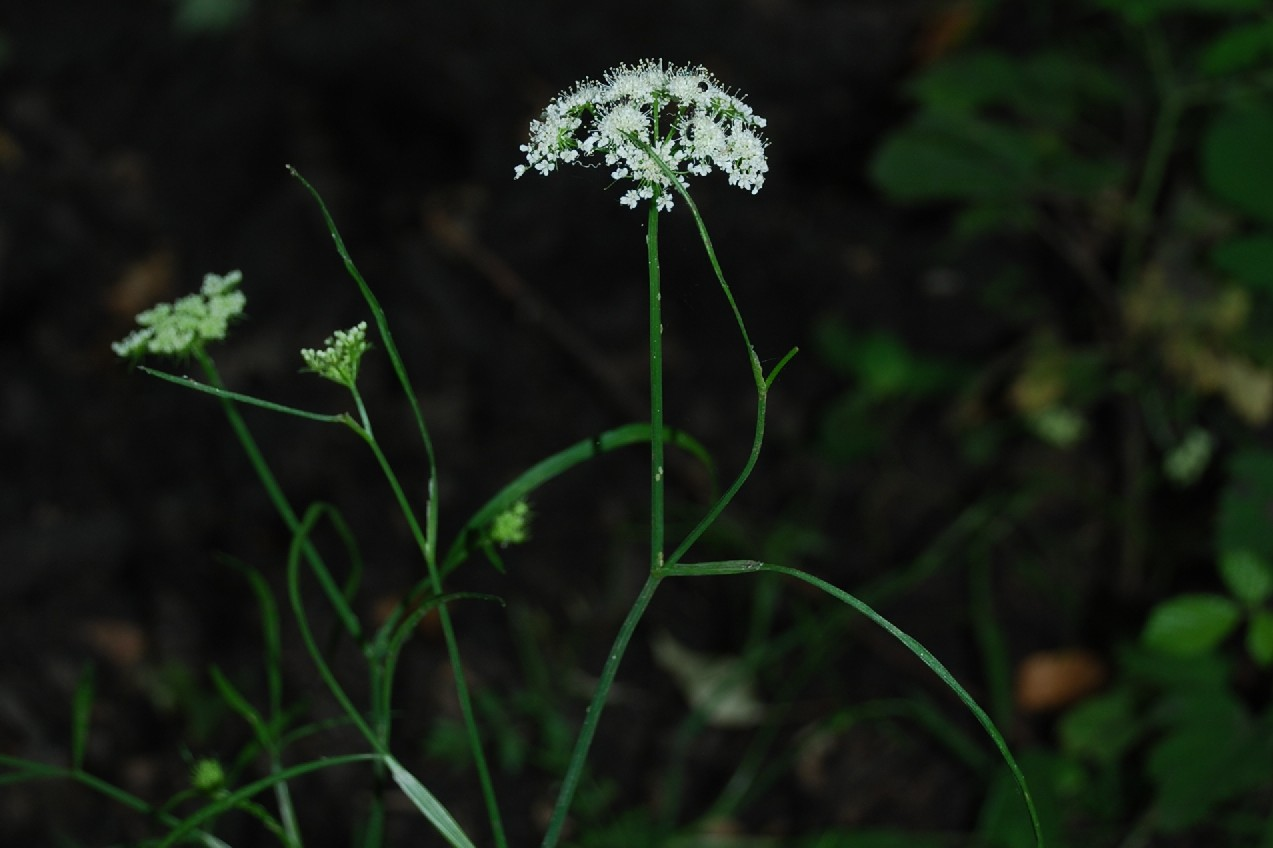 Oenanthe pimpinelloides 16