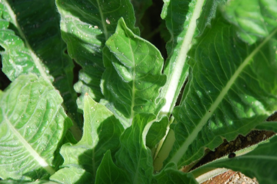 Oenothera sp. 18