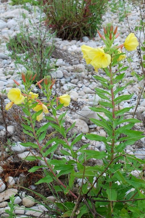 Oenothera sp. 25
