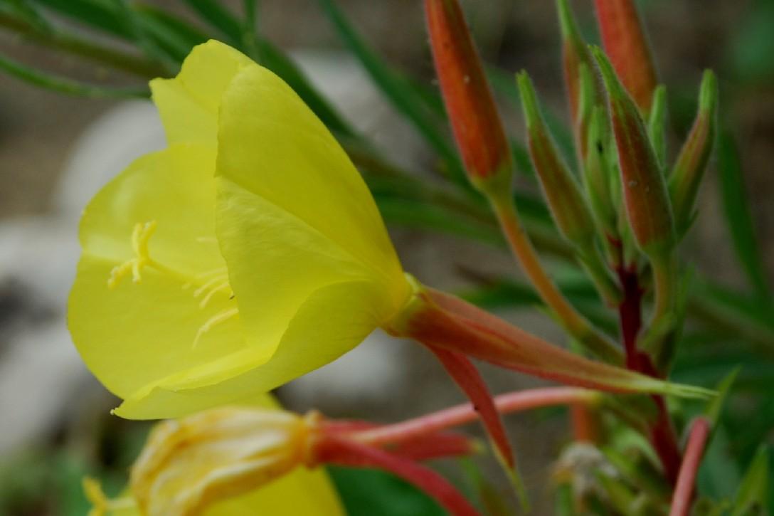 Oenothera sp. 5