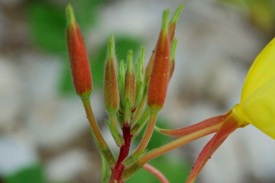 Oenothera sp. 7