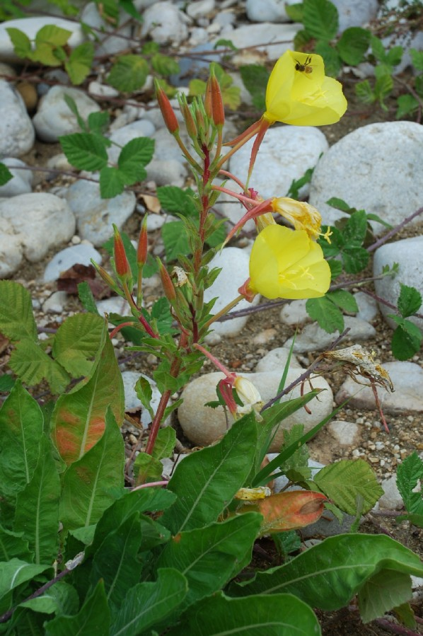 Oenothera sp. 8