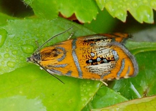 Olethreutes arcuella - Tortricidae