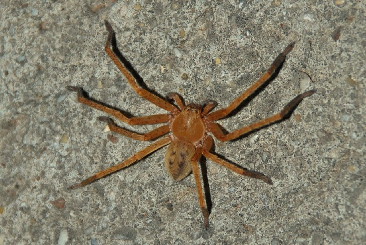 Olios argelasius - Sparassidae