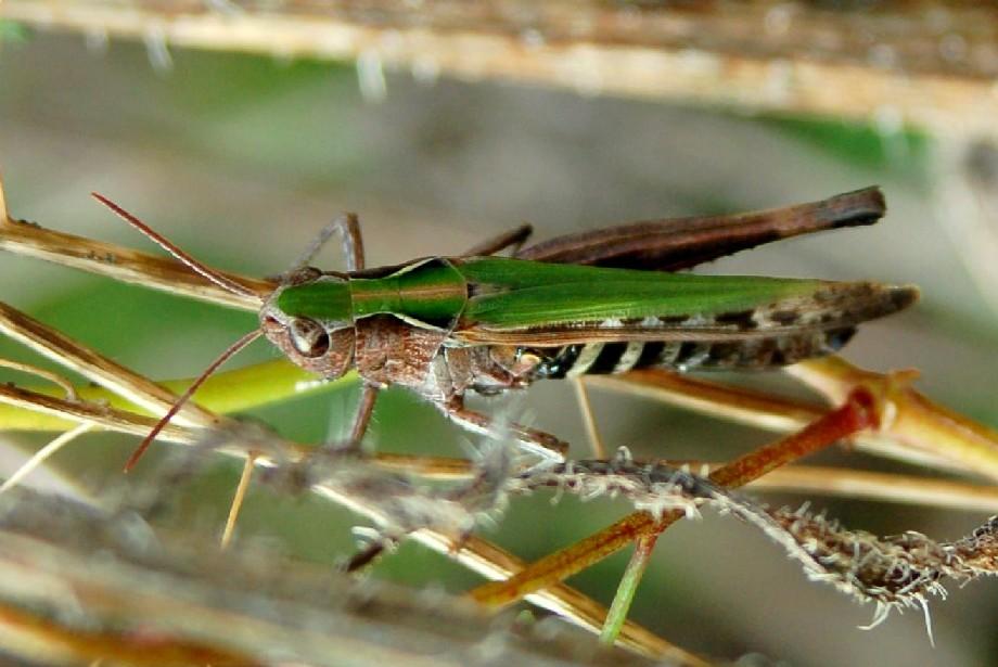Omocestus rufipes - Acrididae