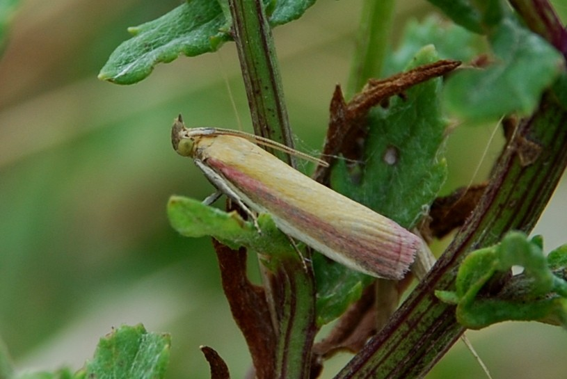 Oncocera semirubella - Pyralidae