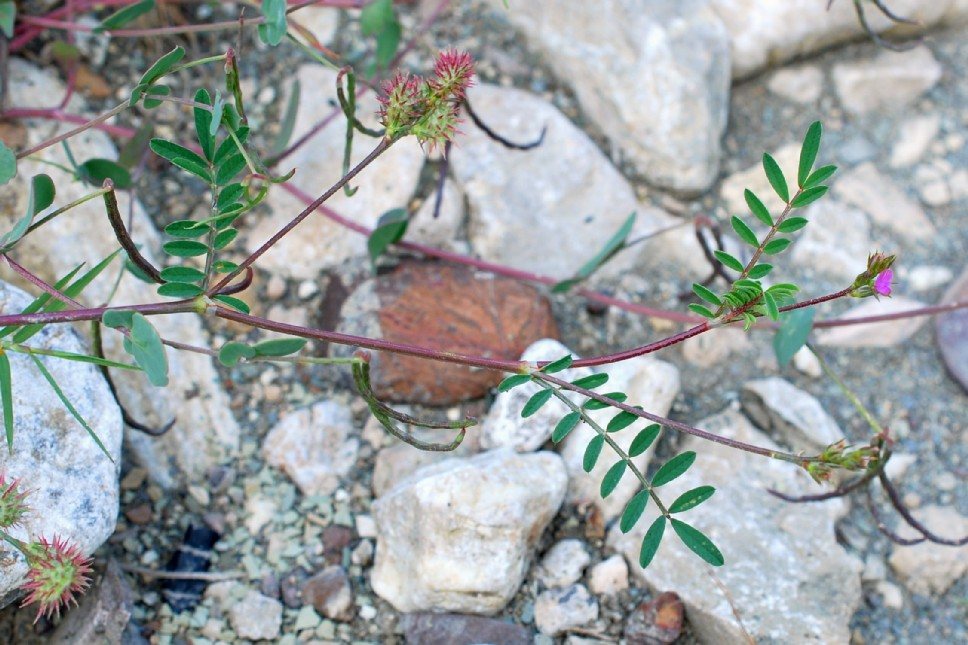 Onobrychis caput-galli 12