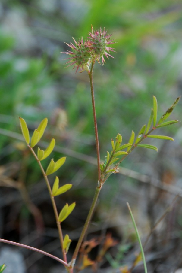 Onobrychis caput-galli 2