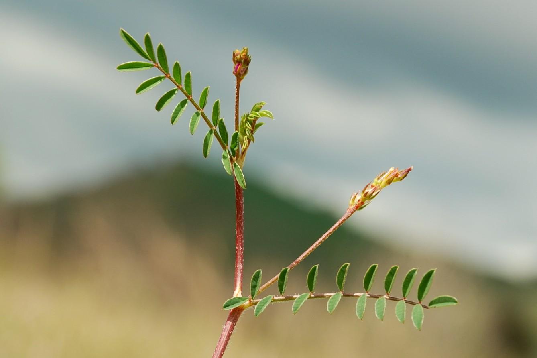 Onobrychis caput-galli 5