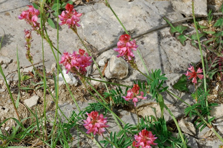 Onobrychis viciifolia 9