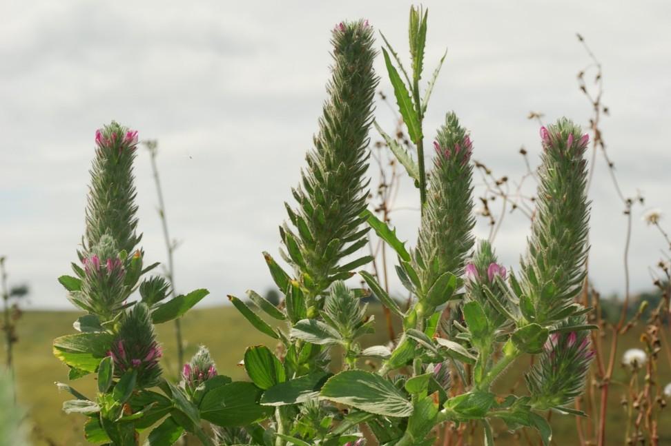 Ononis alopecuroides subsp. exalopecuroides