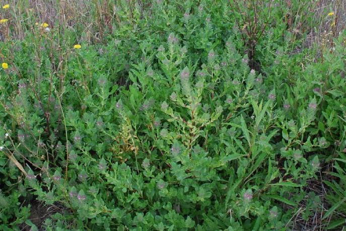 Ononis alopecuroides 20