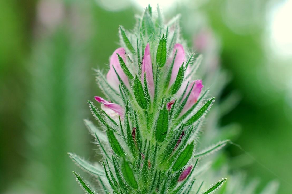 Ononis alopecuroides subsp. exalopecuroides 25