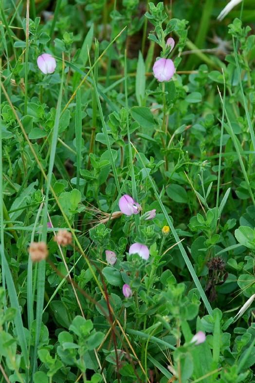 Ononis oligophylla 10
