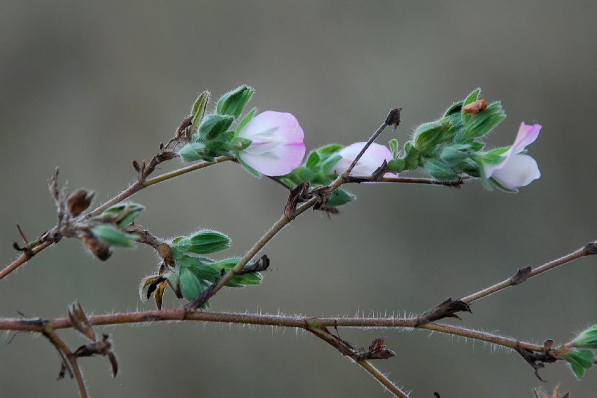 Ononis oligophylla 11