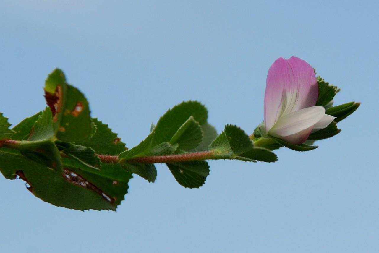 Ononis oligophylla 2
