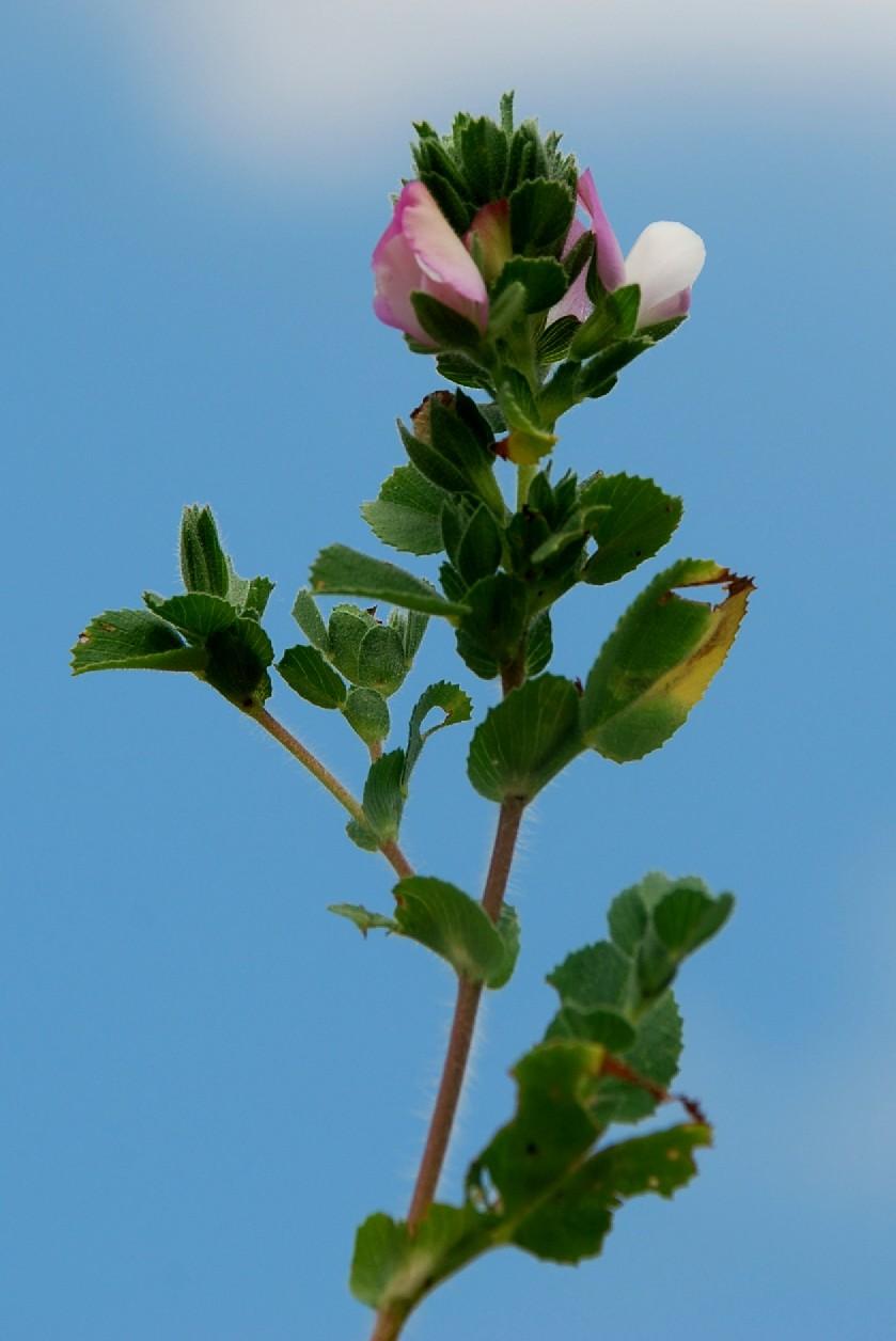 Ononis oligophylla