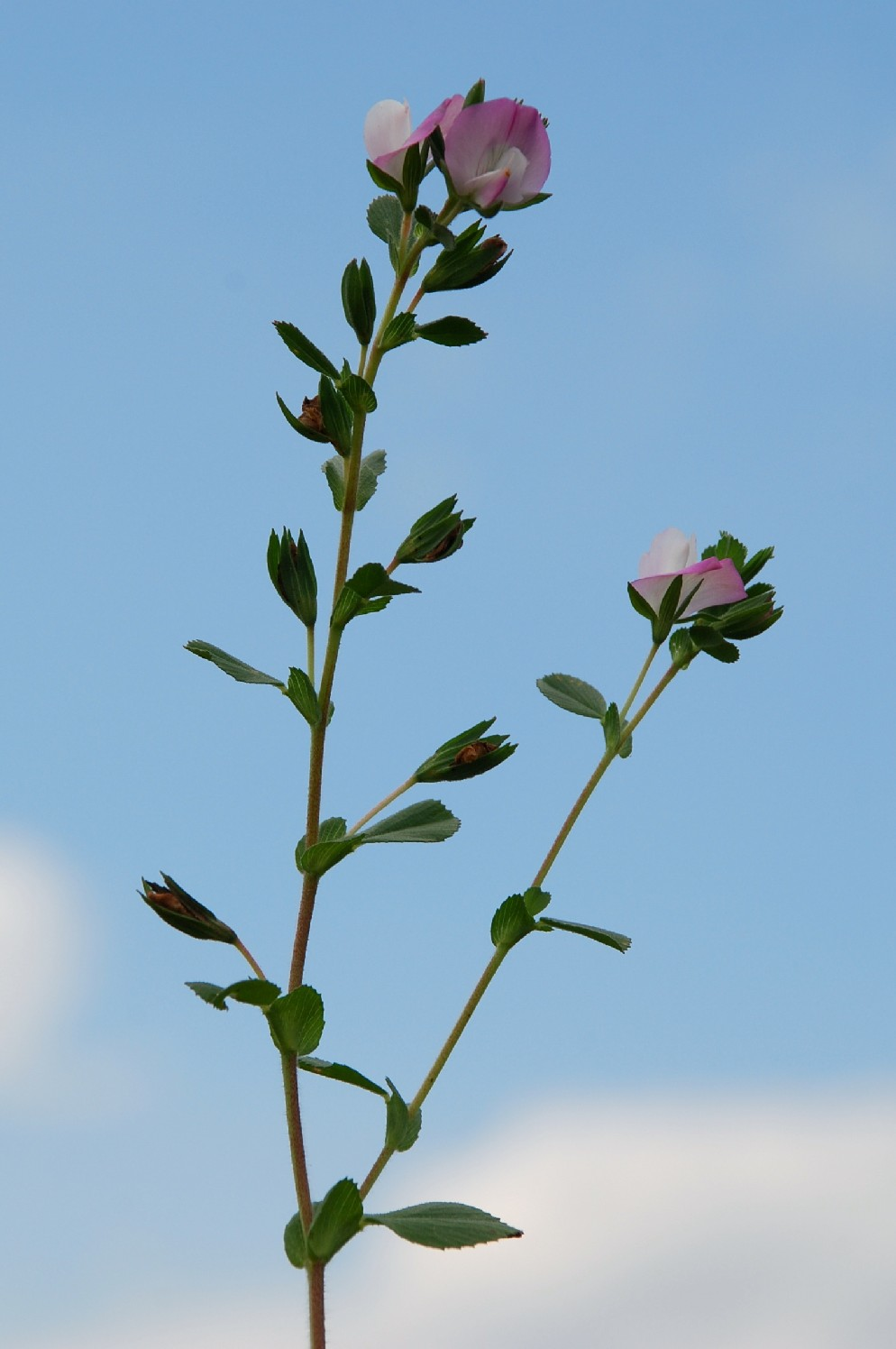 Ononis oligophylla 8