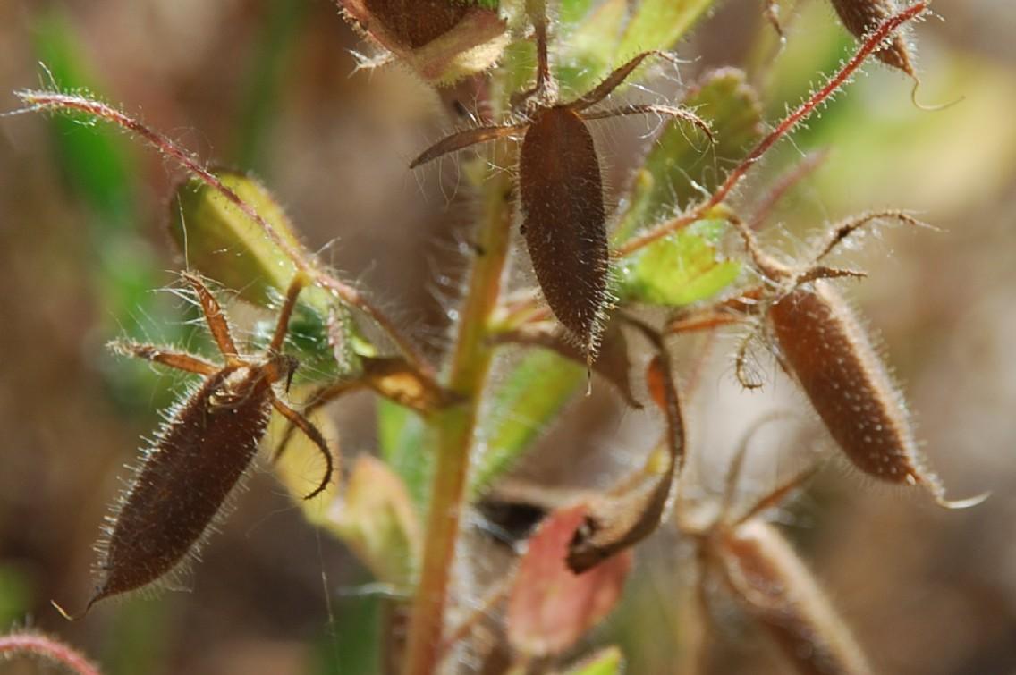 Ononis viscosa subsp. breviflora 12