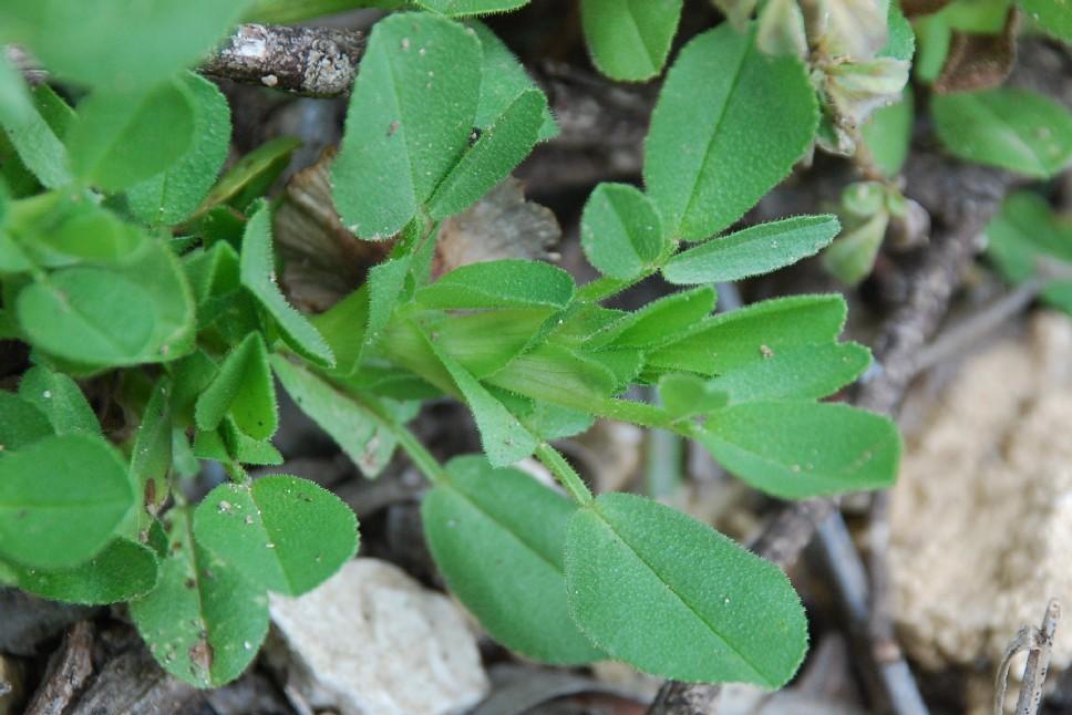 Ononis viscosa subsp. breviflora 16