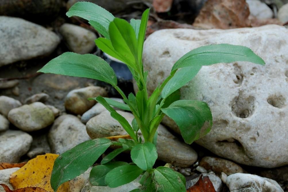 Ononis viscosa subsp. breviflora 4