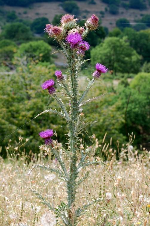 Onopordum illyricum subsp. illyricum
