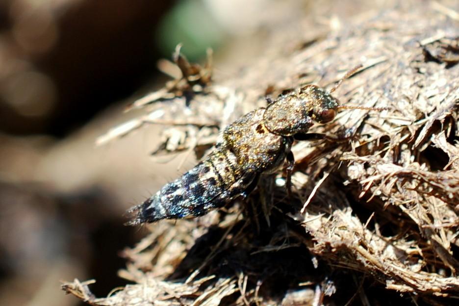 Ontholestes murinus - Staphylinidae