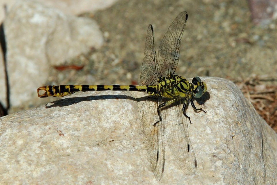 Onychogomphus forcipatus - Gomphidae