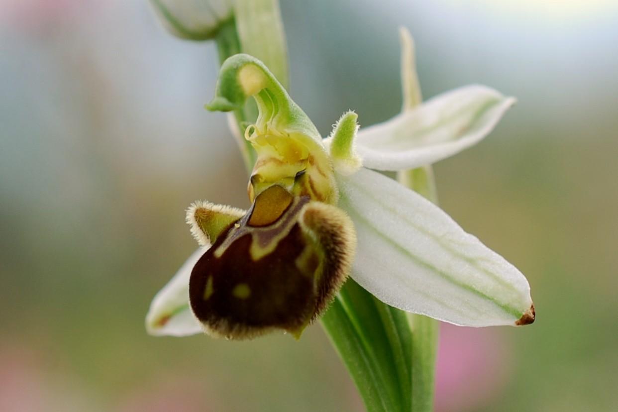 Ophrys apifera 10