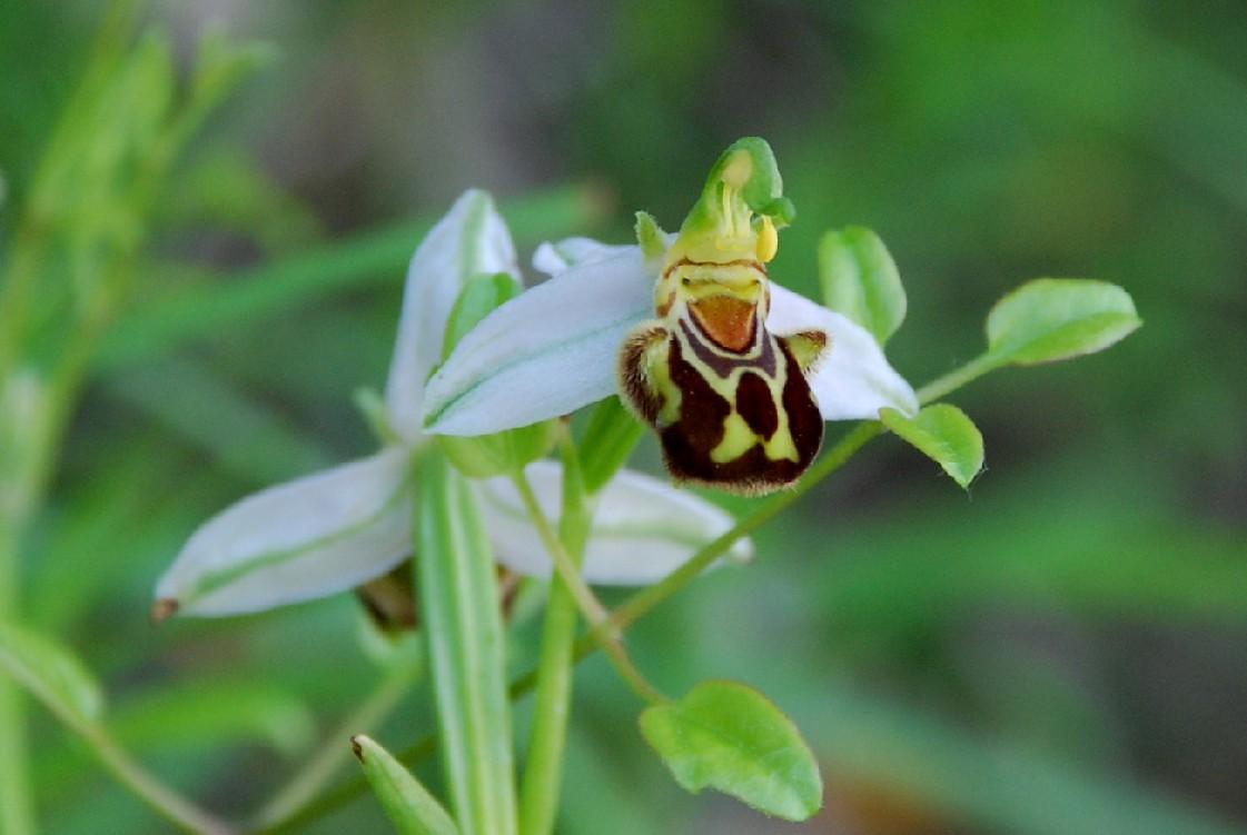 Ophrys apifera 5