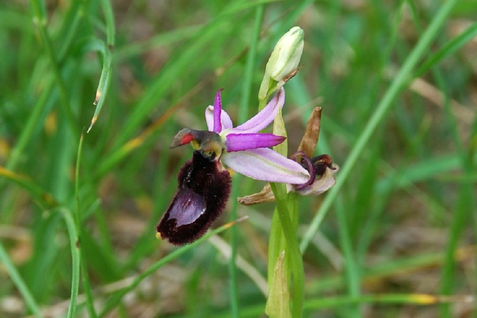 Ophrys bertolonii 17