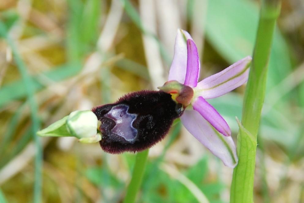 Ophrys bertolonii 21