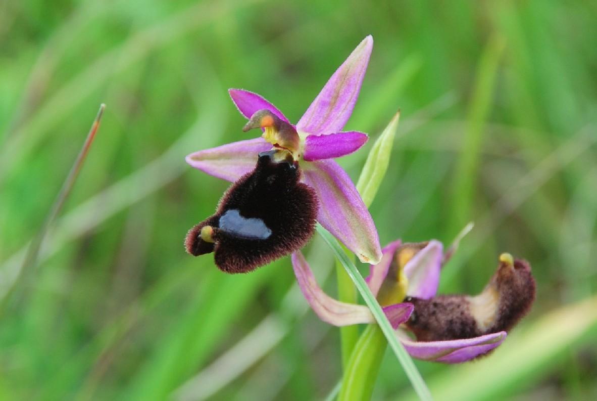 Ophrys bertolonii 29