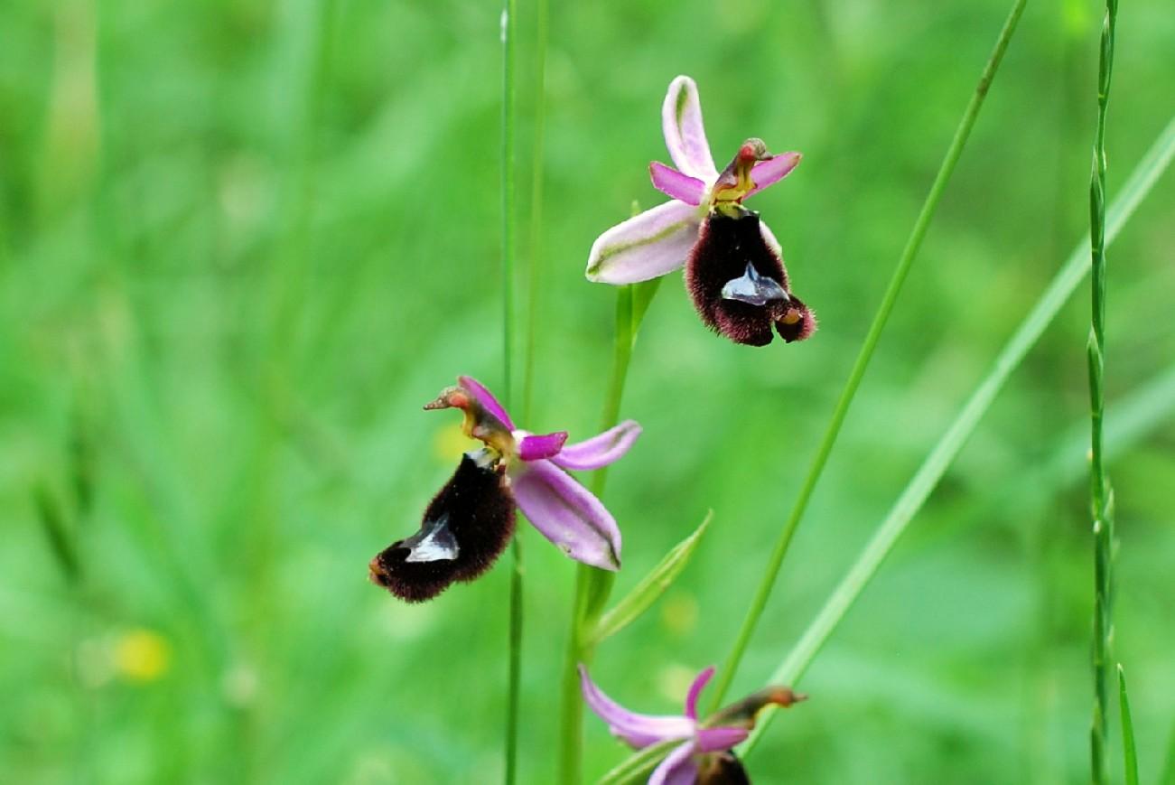Ophrys bertolonii 35