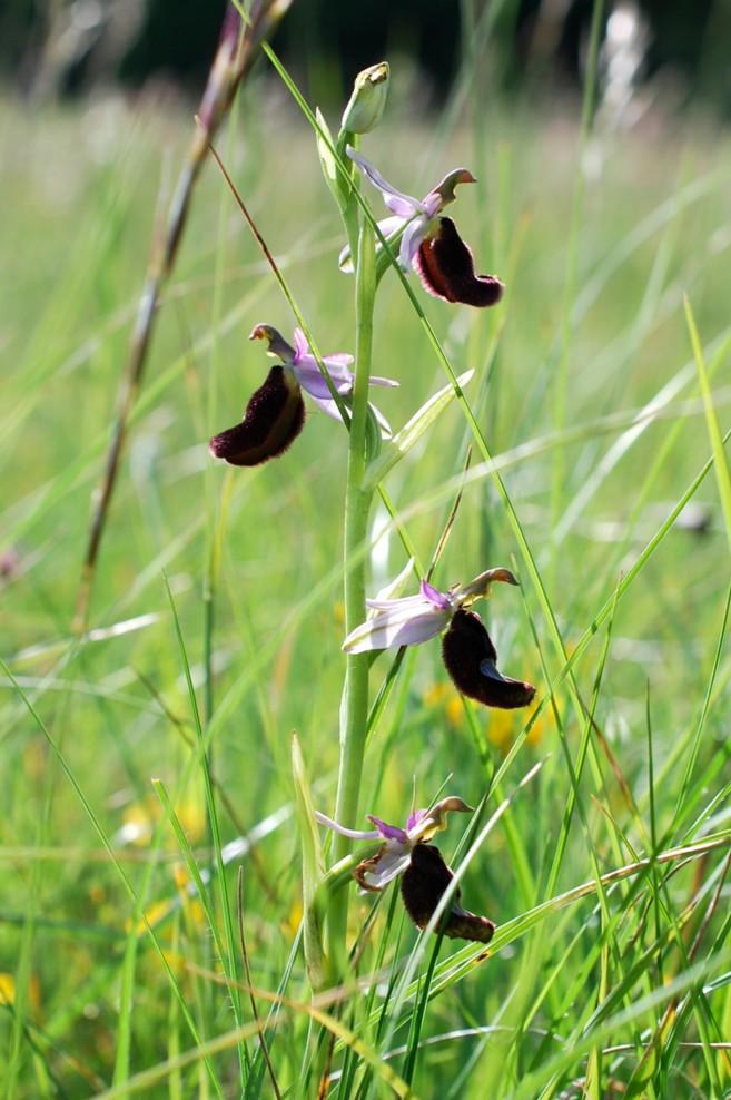 Ophrys bertolonii 38