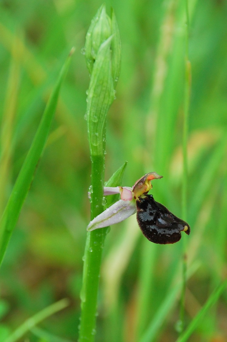 Ophrys bertolonii 4