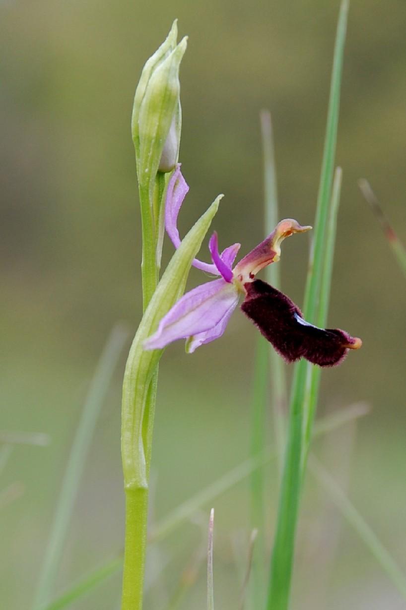 Ophrys bertolonii 7