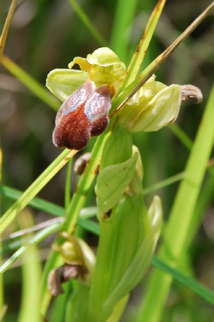 Ophrys fusca subsp. fusca 4